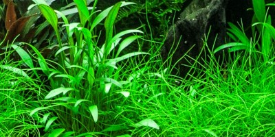 Cryptocoryne_x_willisii2