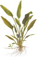 Cryptocoryne_x_willisii